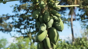 Green papaya on the tree. Papaya tree with bunch of fruits.Branch with tropical fruits stock video footage