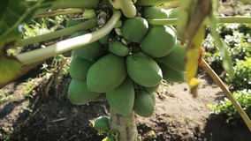 Green papaya on the tree. Papaya tree with bunch of fruits.Branch with tropical fruits.Panorama from a creek on a papaya tree stock footage