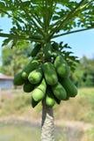 Green papaya on tree Royalty Free Stock Photo