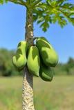 Green papaya on tree Stock Image