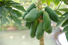 Green Papaya Tree Royalty Free Stock Photography