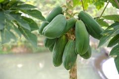 Green Papaya Tree Royalty Free Stock Photography