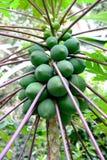 Green papaya on the tree. Papaya tree bearing fresh green papaya royalty free stock photos