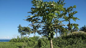 Green papaya on the tree. Tree with green papaya under the blue sky.papaya tree with bunch of fruits.Branch with tropical fruits stock video