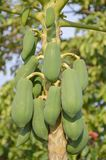 Green papaya tree Royalty Free Stock Image