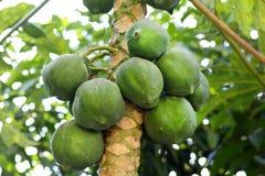 Green papayas Stock Photos