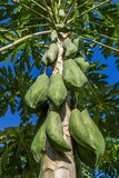 Green papayas growing on a tree Royalty Free Stock Photo