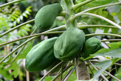 Green papayas on tree Royalty Free Stock Photo