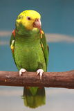 green papegojayellow Royaltyfri Bild