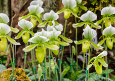 Green Paphiopedilum flowers Royalty Free Stock Photography