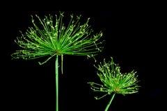 Green Papyrus Stock Image