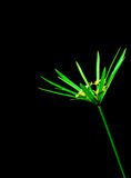 Green papyrus leaf stem on black background. Copy space Royalty Free Stock Image