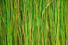 Green papyrus pattern in nature. Abstract background  of green papyrus pattern and texture Stock Photography