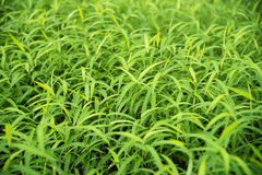 Green para grass leaves fresh nature background Stock Images