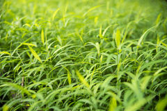 Green para grass leaves fresh nature background Royalty Free Stock Photography