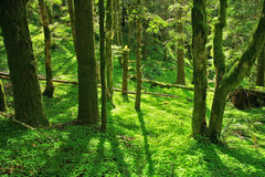 Green Paradise. A thick, green patch of clovers covers the forest floor underneath moss covered trees Royalty Free Stock Photography
