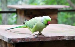 Green parakeet. Green Indian ring-necked parakeet on wooden bar Royalty Free Stock Photos