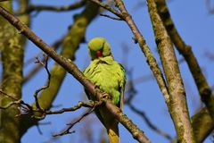 Green parakeet in Abcoude in the Netherlands Royalty Free Stock Photos