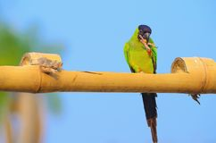Green parakeet with a black hood on the head stock photography