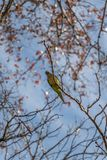 Green Parakeet in the branches of the trees in front of the blue sky stock photos