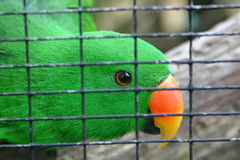 Green parakeet in cage. Portrait of colorful green parakeet in cage Stock Photography