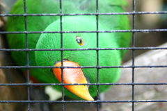 Green parakeet in cage. Closeup of a green parakeet in a cage Stock Photo