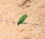 Green parakeet on wire Royalty Free Stock Photography