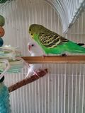 Green parakeets stock photo