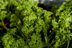 Green parcely plant Royalty Free Stock Photo