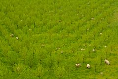 Green park with sheeps Royalty Free Stock Photography