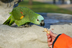Green Parot Stock Photography