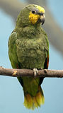 Green parrot 1 Royalty Free Stock Photos