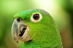 Green parrot. Side portrait of green feathered parrot Stock Photo