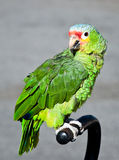 The green parrot Royalty Free Stock Images