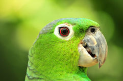Green parrot. Side portrait of green parrot with nature background Stock Photos