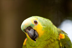 Green Parrot. A green parrot turns for a look Royalty Free Stock Images