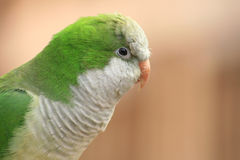 Green Parrot Royalty Free Stock Photos
