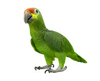 Green parrot. Isolated on white Royalty Free Stock Photography