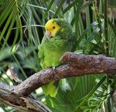 Green Parrot Stock Photos