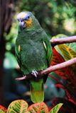 A Green Parrot. Sitting on a branch Royalty Free Stock Images