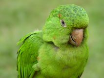 Green Parrot. Close up stock image