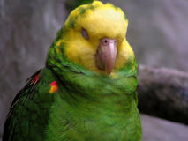 Green parrot. Green sleeping parrot royalty free stock photos