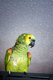 Green parrot. Parrot sitting on his cage Stock Photography