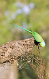 Green parrot. Looking great in sunny day Royalty Free Stock Image