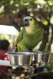 Green parrot. Green amazon parrot and metal manger Stock Images