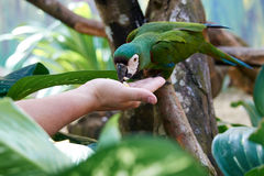 Green parrot ara is a beautiful Royalty Free Stock Image