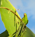 Green parrot on banana stock image