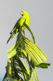 Green parrot on banana royalty free stock photos