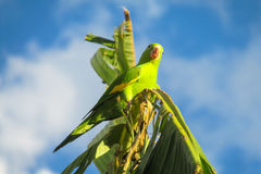 Green parrot on banana palm stock images