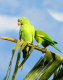 Green parrot on banana palm tree Royalty Free Stock Photo